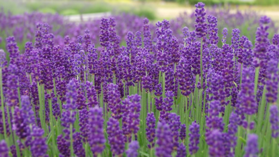 10 Plants That Will Spruce Up Your Garden And Keep Mosquitos Away