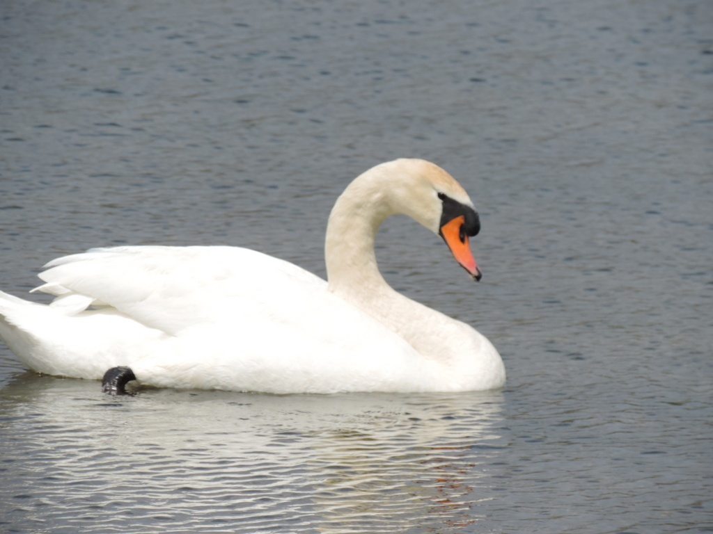 One Swan a swimming on Commerce Lake in Oakland County