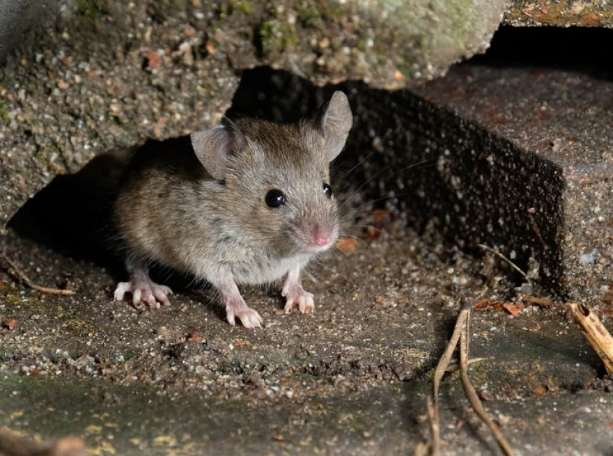 How to tackle mice infestation?