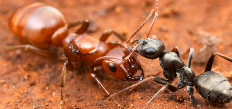 How Ants Can Disturb Your Normal Life?