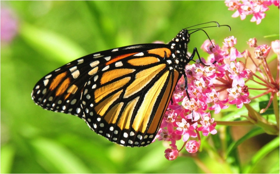 Planting Milkweed This Spring Could Help Save Monarch Butterflies